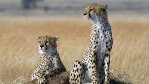 El guepard, un dels animals en perill d'extinció
