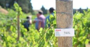 Un dels objectius del projecte és la disminució d'aplicacions de coure i sofre a la vinya