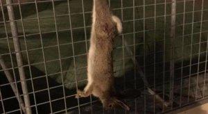 Imatge del conill mort que ha circulat per les xarxes socials