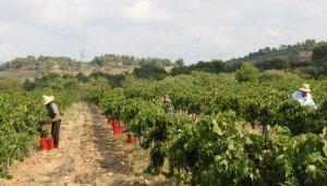 Les vinyes de Carlania, a la Conca de Barberà.