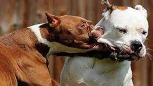 baralla gossos