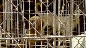 Gossos a l'interior de la gossera a la qual es van obrir diligències.