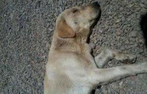 Un els gossos afectats pel verí