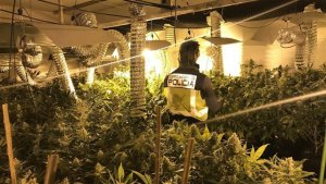 Espectacular plantació de marihuana amb les 764 plantes incautades