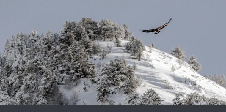 Imatge de l'àliga volant