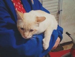 El gat jove i de pél clar que s'ha trobat perdut a Cerdanyola