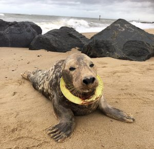 La foca Frisbee en el moment que va ser trobada