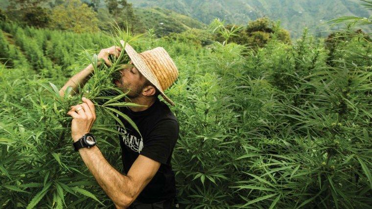 Cultivo de marihuana en Colombia.