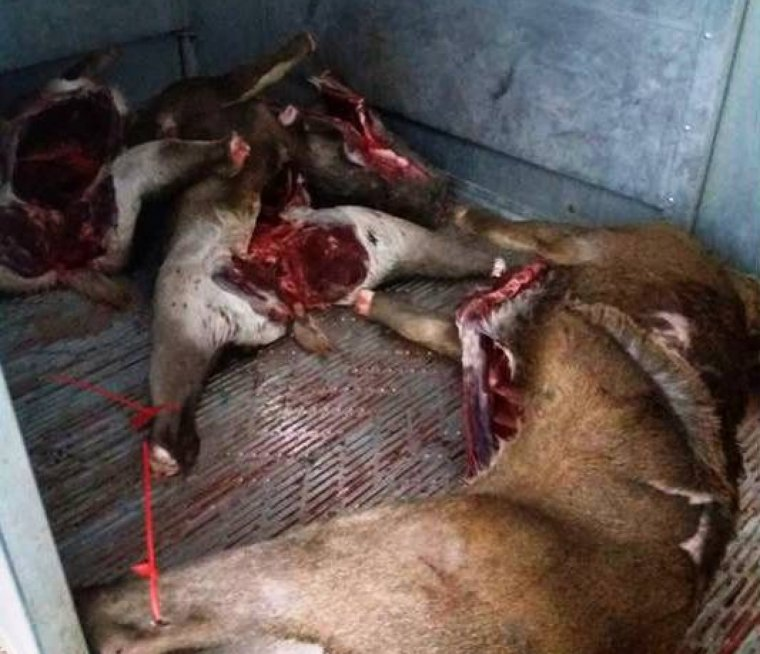 Imatge dels cérvols sacrificats