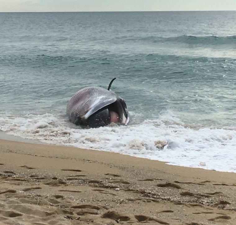 La balena morta a la platja de Montgat