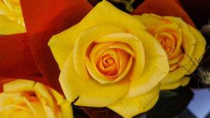 Imatge d'una rosa groga per Sant Jordi
