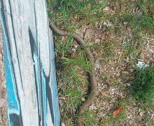 Una altra gran serp es deixa veure a la riera de Les Arenes de Terrassa