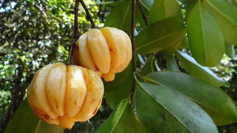corteza de la fruta garcinia cambogia