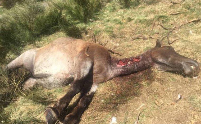 Imatge de l'egua ferida mortalment