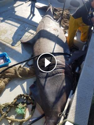 El tauró pelegrí mort dalt l'embarcació