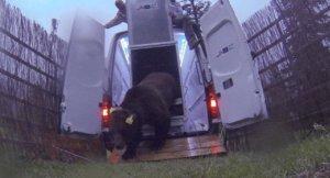 Goiat, l' ós bru eslovè que s'ha alliberat als Pirineus centrals