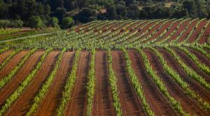 Les vinyes del Castell del Remei.