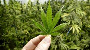 Marihuana y todo lo que necesitabas saber sobre esta planta.