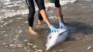 Imatge del dofí trobat a Sant Jaume d'Enveja