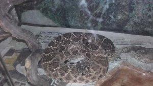 Imatge d'una de les serps de cascavell intervingudes a Premià de Mar