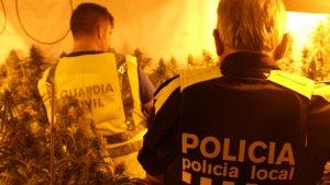 La Guàrdia Civil i la Policia Local de Roda de Berà desmantellen una plantació de marihuana