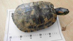 Una de les tortugues de florida capturades aquests dies al Baix Camp i al Priorat
