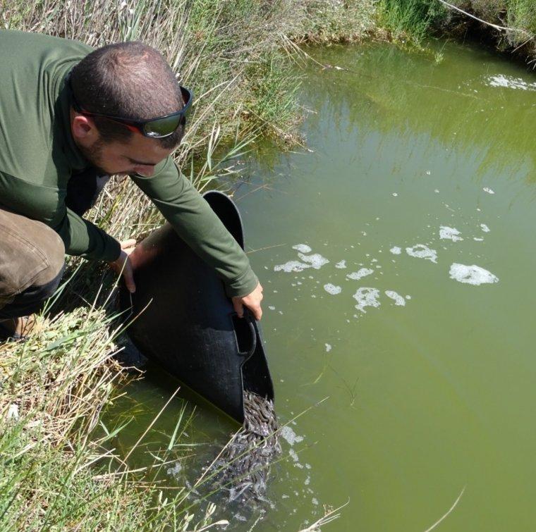 Alliberament d'anguiles a les llacunes del delta de l'Ebre