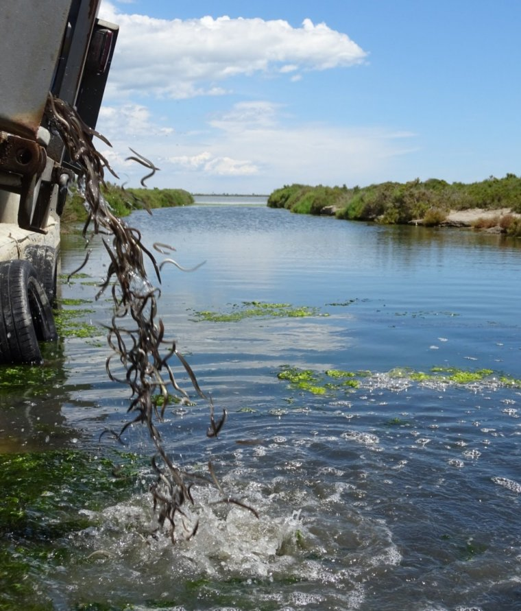 Alliberament d'anguiles al Delta de l'Ebre