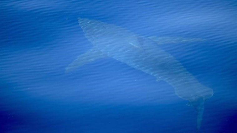 Avistan un tiburón blanco de cinco metros en aguas de Baleares