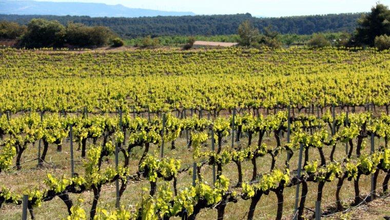 Pla general d'una vinya de garnatxa.