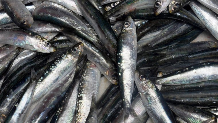 Sardines D.O.P. Peix Blau de Tarragona