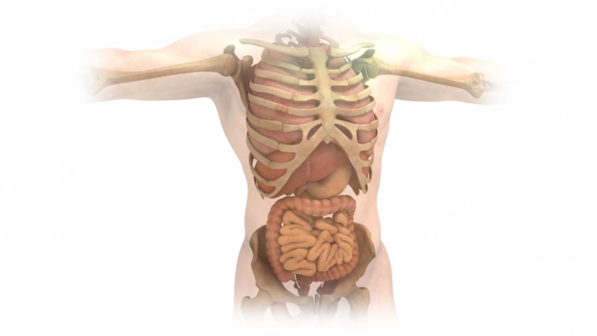 Órganos del cuerpo humano: funciones de los 13 principales