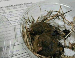 Imatge de les aus rescatades a Camarasa