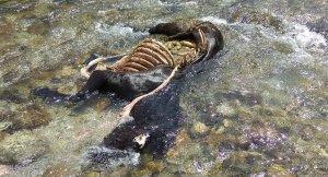 Imatge de l'euga morta a la Val d'Aran