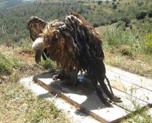 Imatge del voltor
