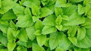 La clorofila está presente en las plantas y aporta propiedades beneficiosas.