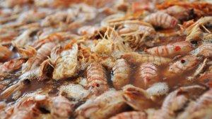 La galera serà ingredient principal en el menú de 34 restaurants.