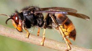 Un exemplar de vespa asiàtica