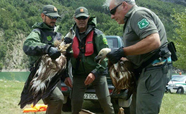 Els agents rurals rescatant dos polls de voltor que havien caigut del niu, a l'embassament d'Escales