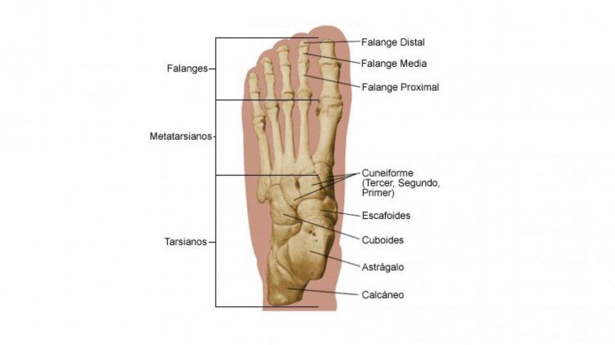 Partes y huesos del pie humano: anatomía y funciones