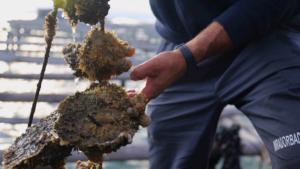 Descobrireu tot el procés des del naixement fins que arriba al mercat de l'ostra i el musclo.