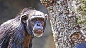 El ximpanzé nascut en Bioparc és mascle i es dirà Coco
