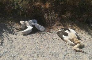 Imatge de dos cadàvers de cigonya
