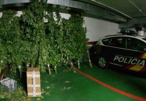 Algunes de les plantes de marihuana localitzades a la granja de Mollerussa