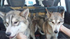 Dos gossos amb signes evidents de desnutrició trobats en una casa de Vilaverd.