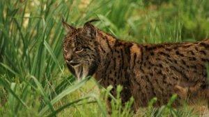 El lince ibérico se encuentra en grave peligro de extinción