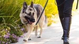 Els paranys de carn amb claus posen en perill la vida dels gossos i gats