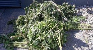 Imatge de les plantes de marihuana