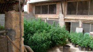 Imatge de part de la plantació de marihuana, a Villalba dels Arcs