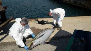 Imatge del dofí llistat mascle trobat mort aquest divendres a les aigües del port de Tarragona.